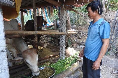 Phú Yên: Vỗ béo bò bằng thức ăn ủ chua