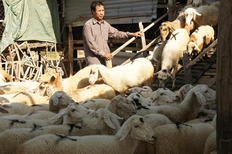 Dê, cừu tăng giá mạnh