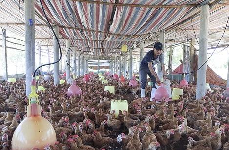 Chăn nuôi chuẩn VietGAP lãi cao, sạch bệnh