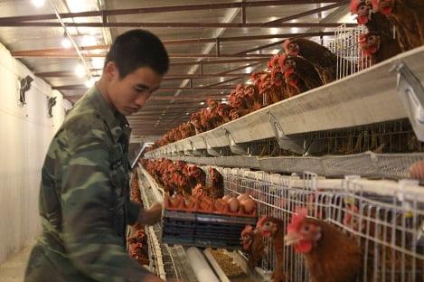Tổng quan về ngành chăn nuôi gia cầm Việt Nam (P6): Thức ăn, phương thức và hình thức chăn nuôi