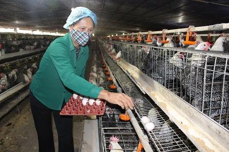 Tổng quan về ngành chăn nuôi gia cầm Việt Nam (P5): Công tác quản lý giống