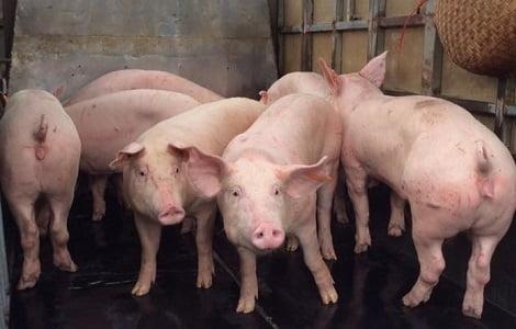 Chấm dứt các dự án chăn nuôi lợn không chấp hành quy định bảo vệ môi trường