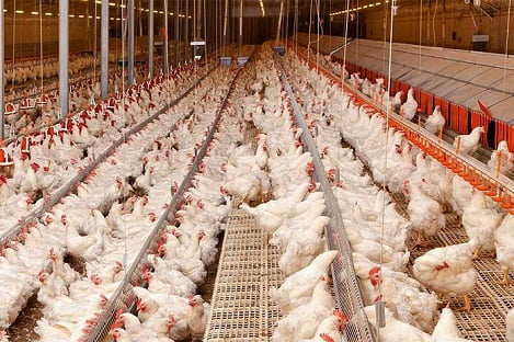 Kiểm soát Salmonella trong chăn nuôi gà thịt giống