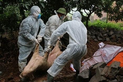 Quy định mới về mức hỗ trợ kinh phí phòng, chống dịch tả lợn Châu Phi