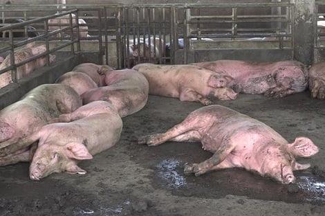 Dịch tả lợn châu Phi 'tấn công' ra các đảo ở Kiên Giang