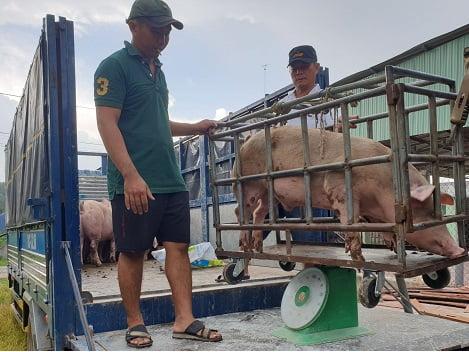 Tây Ninh: Giá heo hơi tăng trở lại