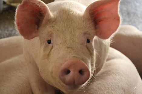Chăn nuôi an toàn sinh học: Giải pháp hữu hiệu bảo vệ đàn lợn trong thời điểm hiện nay