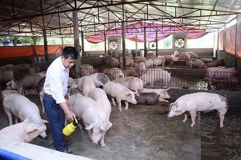 Giá lợn hơi tại phía Bắc tăng từng ngày