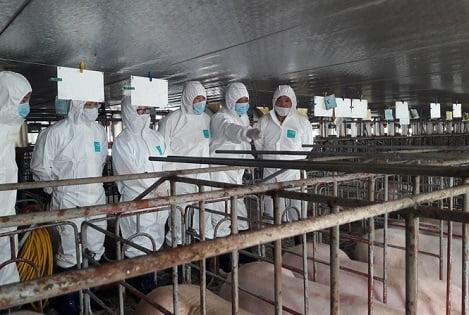 Hỗ trợ 500.000 đồng/đầu lợn nhằm bảo vệ, duy trì đàn hạt nhân