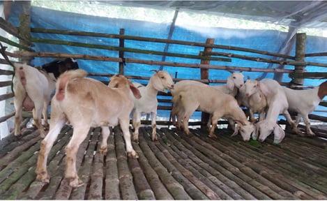 Thạnh Trị (Sóc Trăng): Phát triển chăn nuôi dê Boer đực giống