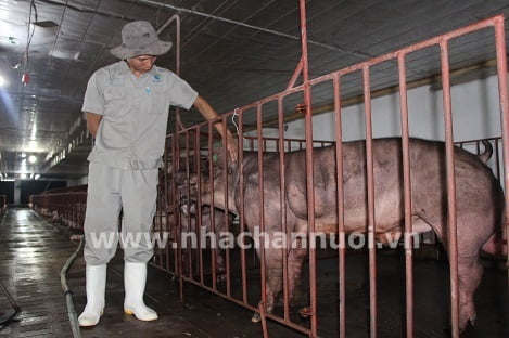 Mỡ giắt: Một chỉ tiêu quan trọng trong thịt lợn, một nhu cầu lớn của người tiêu dùng