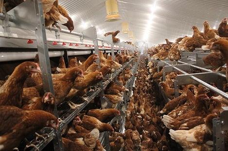 Sản xuất trứng gà không sử dụng chuồng lồng