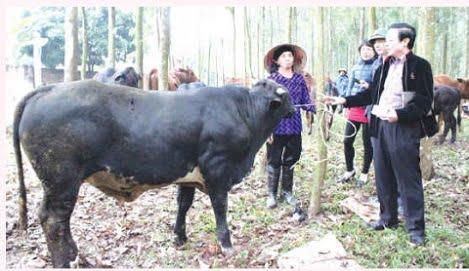 Biết thêm về giống bò BBB nhập nội