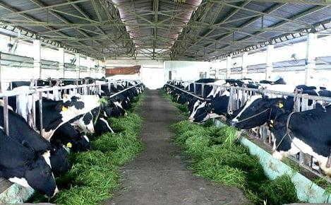 Đề xuất Danh mục các giống bò sữa, bò thịt cao sản được hỗ trợ