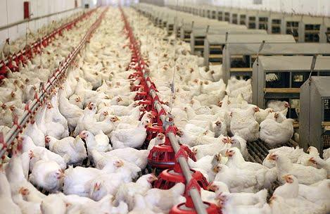 Giá gà công nghiệp tăng trở lại