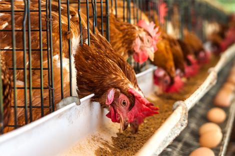 Chuẩn bị sẵn sàng để tránh stress nhiệt cho gà đẻ