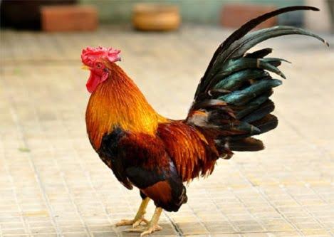 Hiệu quả của việc bổ sung vitamin C cho gà trống