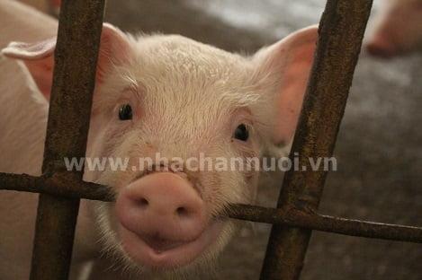 Xử lí dứt điểm điểm tình trạng vứt xác lợn ra môi trường
