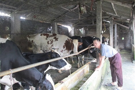 Nông hộ nuôi 30 con bò sữa khép kín