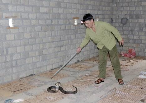 Làm giàu nhờ nuôi rắn hổ mang
