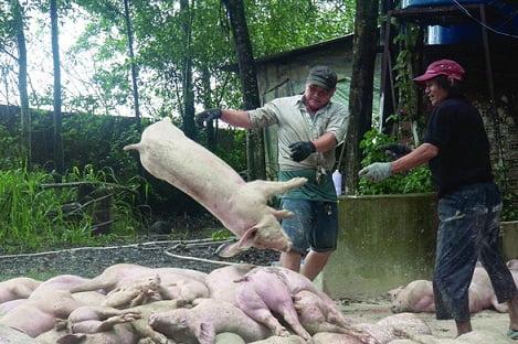 3,3 triệu con heo bị tiêu hủy, ngành thức ăn chăn nuôi cũng mệt mỏi