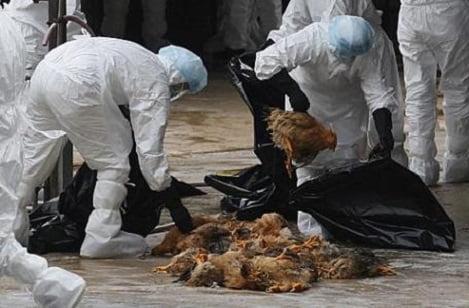 Đàn gà 1.500 con dương tính với H5N1 ở Cần Thơ