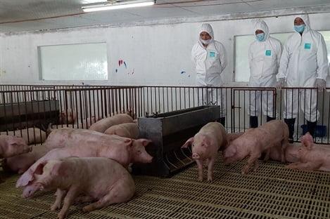 Dịch tả lợn Châu Phi tạm lắng: Các tỉnh thận trọng bàn việc tái đàn