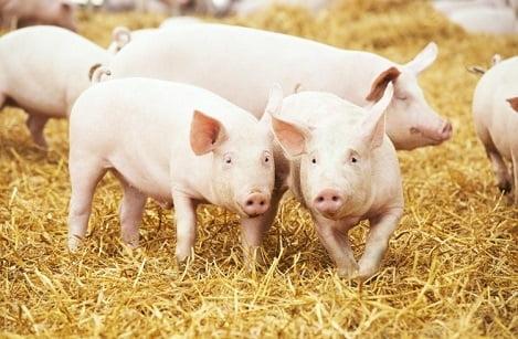 Chăn nuôi lợn Đan Mạch: Hệ thống giống lợn hình tháp mang lại hiệu quả cao