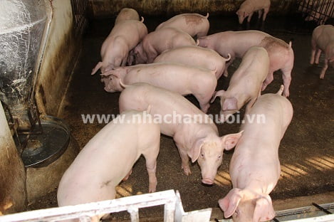 Tín hiệu bước đầu từ kháng thể phòng, chống bệnh Dịch tả lợn châu Phi
