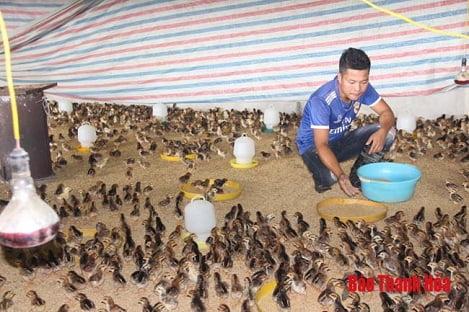 Phát triển chăn nuôi gà theo chuỗi phục vụ chế biến và xuất khẩu