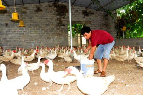 Thoát nghèo nhờ nuôi ngan bán trứng