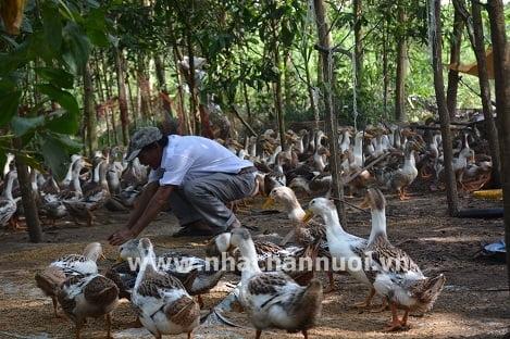 Quảng Ngãi: Hiệu quả mô hình chăn nuôi vịt Đại xuyên thương phẩm hướng Vietgap
