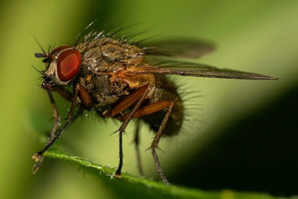 Thực nghiệm chứng minh: Ruồi có thể truyền lây virus ASF