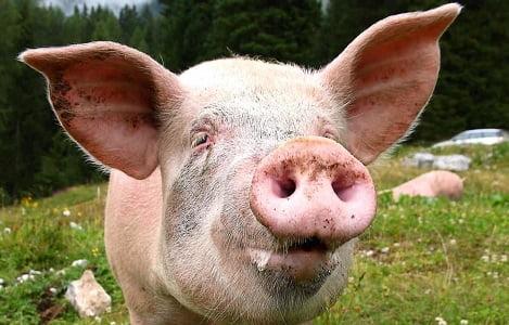 Australia: Bị bắt vì mang lậu tinh dịch lợn trong chai dầu gội đầu