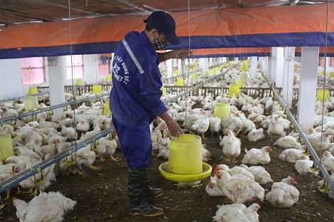 Kỹ thuật mới trong chăn nuôi gia cầm: Tiến bộ vượt bậc