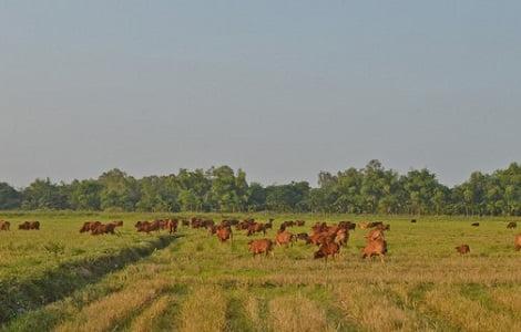 Khấm khá nhờ nuôi bò tập trung