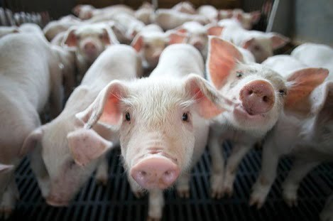 Bệnh cúm lợn và mối nguy gây đại dịch cho cộng đồng