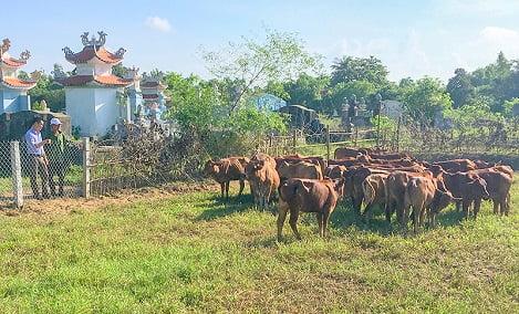 Mô hình nuôi bò giống hiệu quả của cựu chiến binh