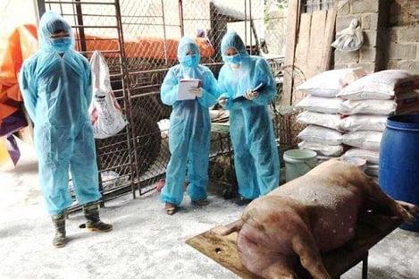 Hà Nội sẽ xử lý nghiêm hộ tái đàn lợn không khai báo