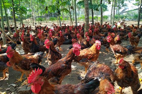 BẮC GIANG: Hiệu quả bước đầu chăn nuôi gà mía lai trên đệm lót sinh học