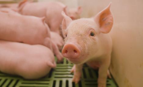 Probiotic: Chất lượng của chế phẩm Probiotic sử dụng trong chăn nuôi