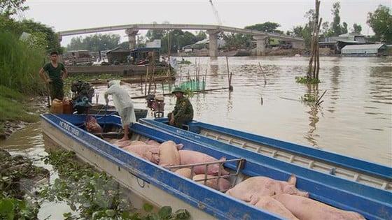 Ngăn chặn heo lậu tại 10 tỉnh ở Nam bộ và Tây Nguyên