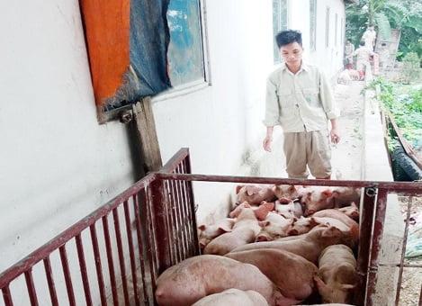 Bắc Giang: Giá lợn giống tăng rất cao