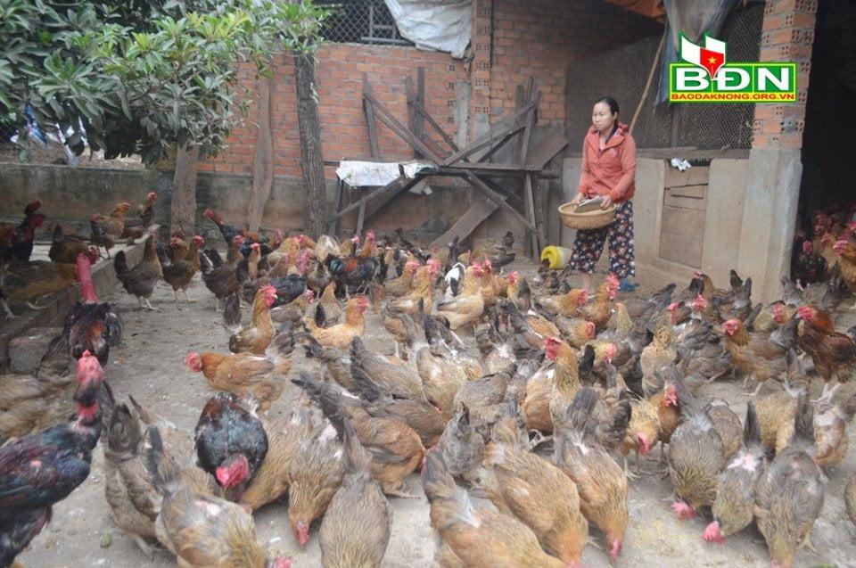 Đắk Nông: Nông dân lại gặp khó vì gia cầm 'rớt giá'