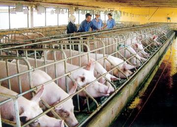 Nghiên cứu giúp phòng ngừa bệnh tai xanh ở lợn trong quá trình sinh sản