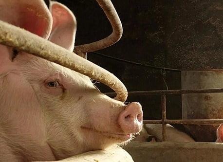 Trung Quốc chật vật tìm nguồn thịt heo cho Tết