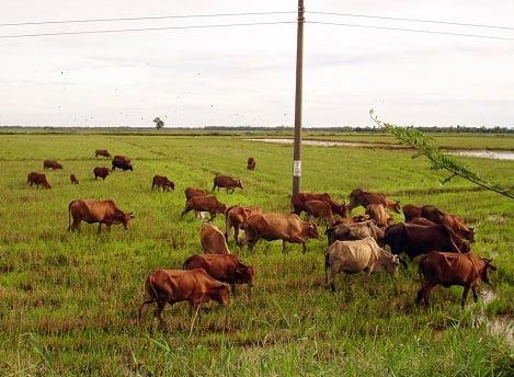 Long An: Triển khai quyết liệt các biện pháp phòng, chống lở mồm long móng trên gia súc