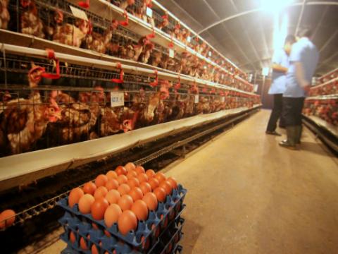 Ảnh hưởng của mỡ cá tra đến năng suất, chất lượng trứng gà Hisex Brown