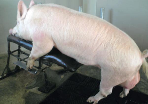 Nâng cao năng suất sinh sản của đàn lợn đực giống (P3)