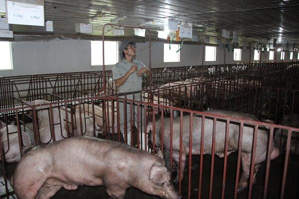 Nâng cao năng suất sinh sản của đàn lợn đực giống (P1)